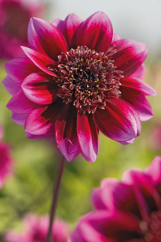 Dahlia Purple Puff