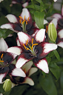Asiatic Lily  Purple Heart