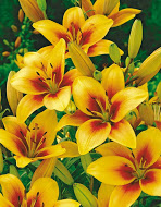 Asiatic Lily Grand Cruz