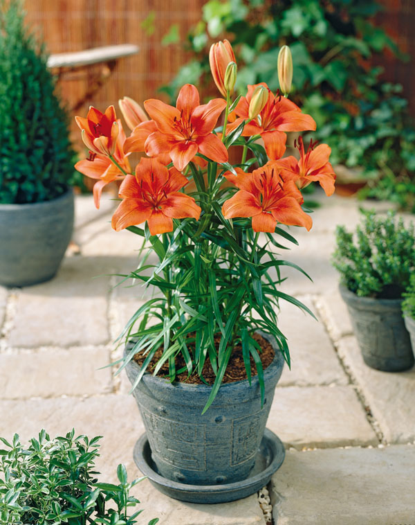 Pixie Lily Orange  Pot