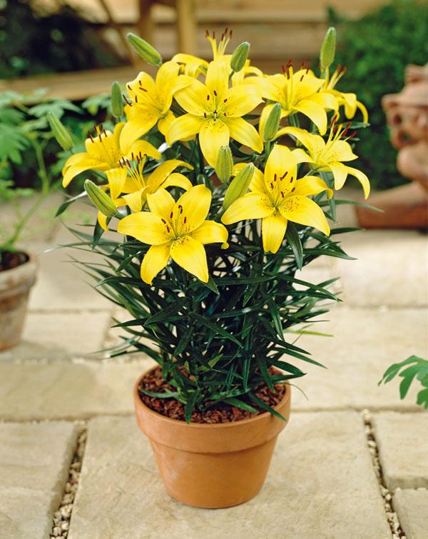 Pixie Lily Lemon Pot