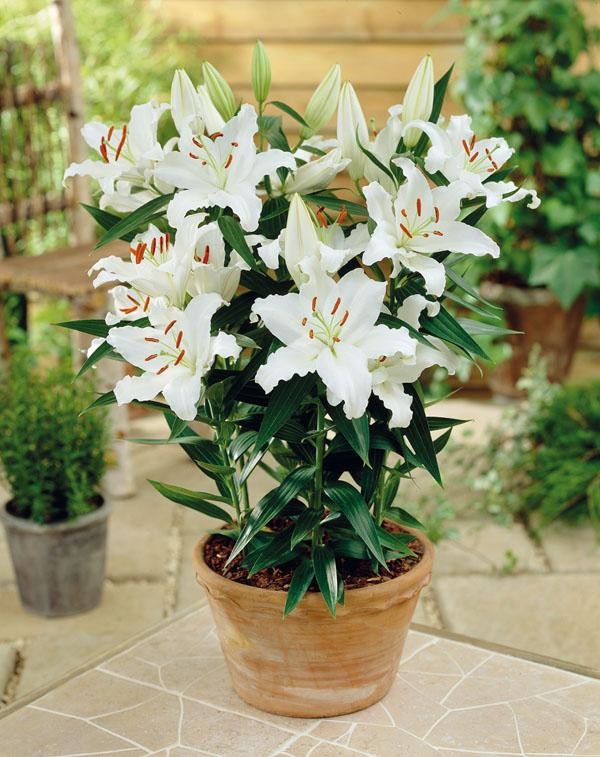 Oriental Pot Lily Rodolfa