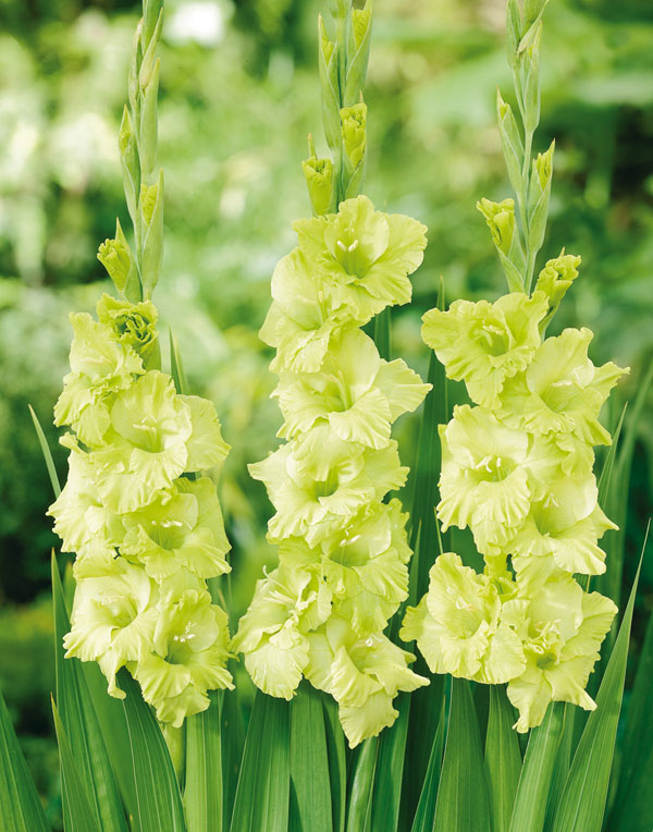 Gladiolus Green star