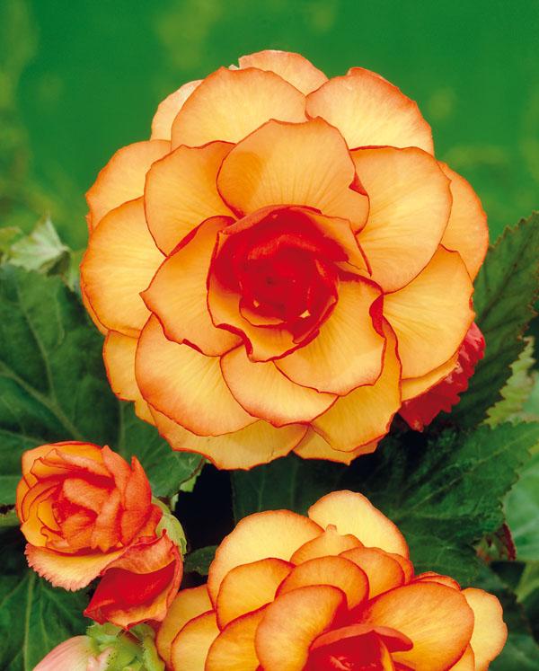 Begonia Picotee Y,R