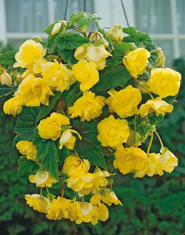 Begonia Yellow Pendula
