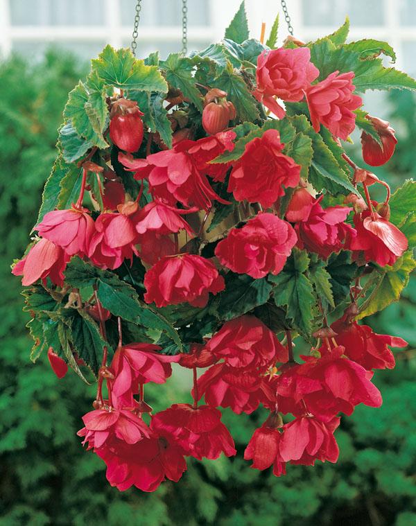 Begonia Pink Pendula