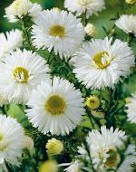 Aster Novi Belgii White