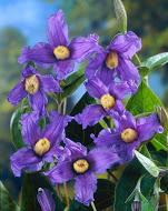 Clematis integrifolia Blue