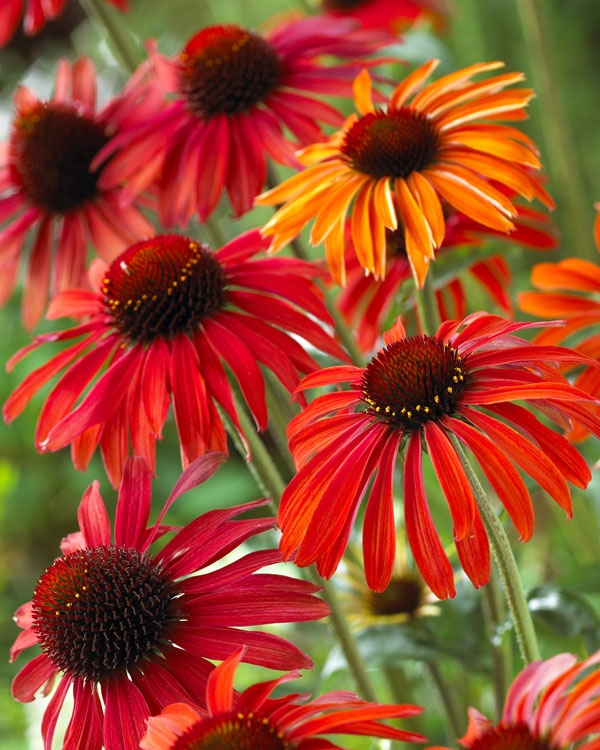 Echinacea New Hot Summer