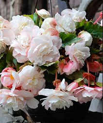 Begonia Angelique Novelty