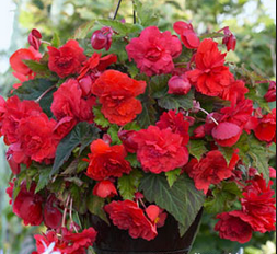 Begonia Red Glory Novelty