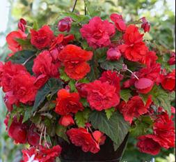 Begonia Red Glory Novelty