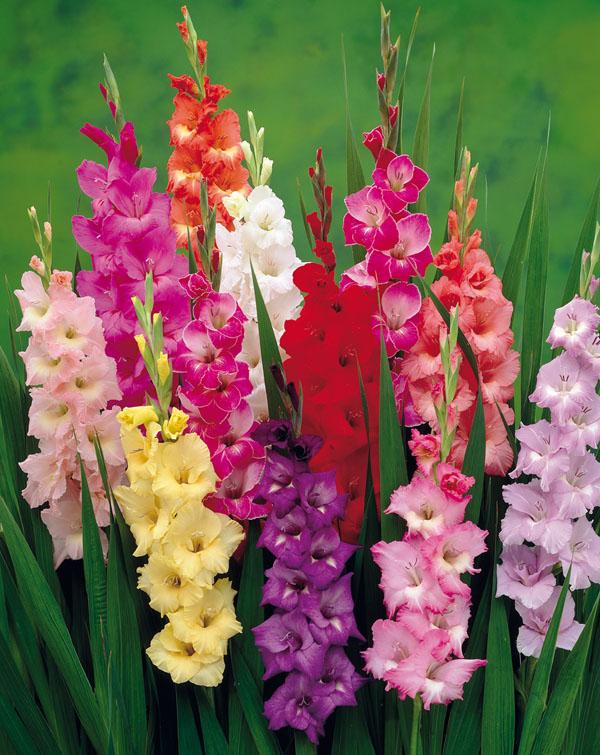 Gladiolus spp