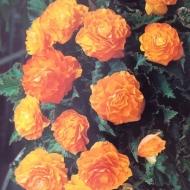 Begonia Non Stop Apricot